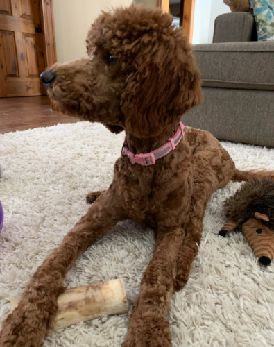 Our Red Standard Poodle Tess